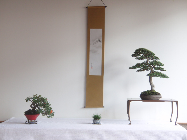 Bonsai Cedro